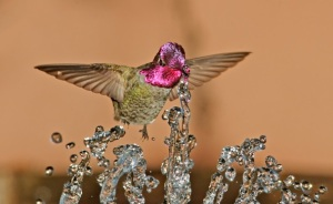 Anna's-Hummingbird-male