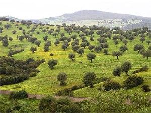 olive-trees[1]